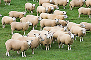Flock of sheep grazing in a field , Oxfordshire, England