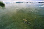 Giant Titicaca Frog in Lake Titicaca<br />Telmatobius culeus<br />Lake Titicaca. Border BOLIVIA & PERU