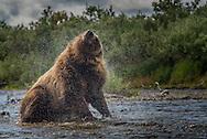 A brown bear (Ursus arctos) dries off its fur with a little shake - Katmai, Alaska