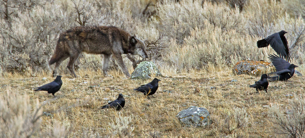 712M, alpha male of Yellowstone's Canyon Pack, leaves an elk kill after eating his fill.  Scavengers, like this flock of ravens, track the movements of wolf packs and eat from their kills after the wolves have finished with them.