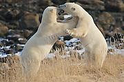 Polar bears wrestling along the shore of Hudson Bay, Manitoba.