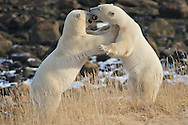 Polar bears wrestling along the shore of Hudson Bay, Manitoba.
