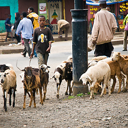 A young boy walks his sheep through the busy streets of Addis Ababa.