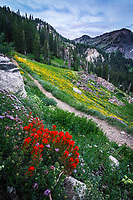 Wildflowers bloom along the many hiking trails in Utah's Albion Basin during the Summer months.
