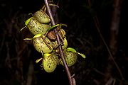 Ground pitchers from the pitcher plant Nephentes ampullaria growing on a stem in Kubah National Park, Sarawak, Borneo.
