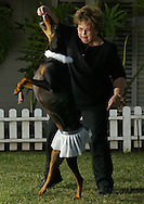 "dogdance.01xx  --  Photo by Kevin Sullivan / The Orange County Register   --  dogdance.p01xx.kjs2.jpg  --   Lynne Ryan, of Placentia ""dances"" with her doberman pinscher Hannah outside the Jump Start Dog Sports obedience school in Yorba Linda  Monday December 22, 2003.  Dog dancing is the latest craze in the dog training world, one that calls for dogs to jump around in time to music."