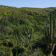 Cactus in desert. Todos Santos highway. BCS, MX.