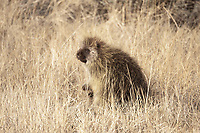 A North American Porcupine in January rests in a grassy area of a hillside before continuing up the hill and into the trees.