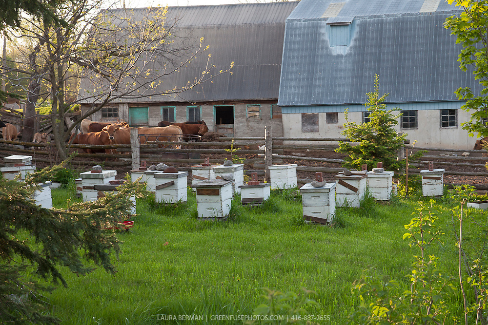 A beeyard with Langstroth honeybee hive boxes on a small family farm.