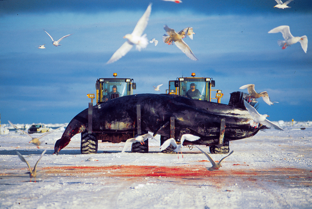 Alaska . Barrow . Whaling crew with tractors move the harvest from the ice .