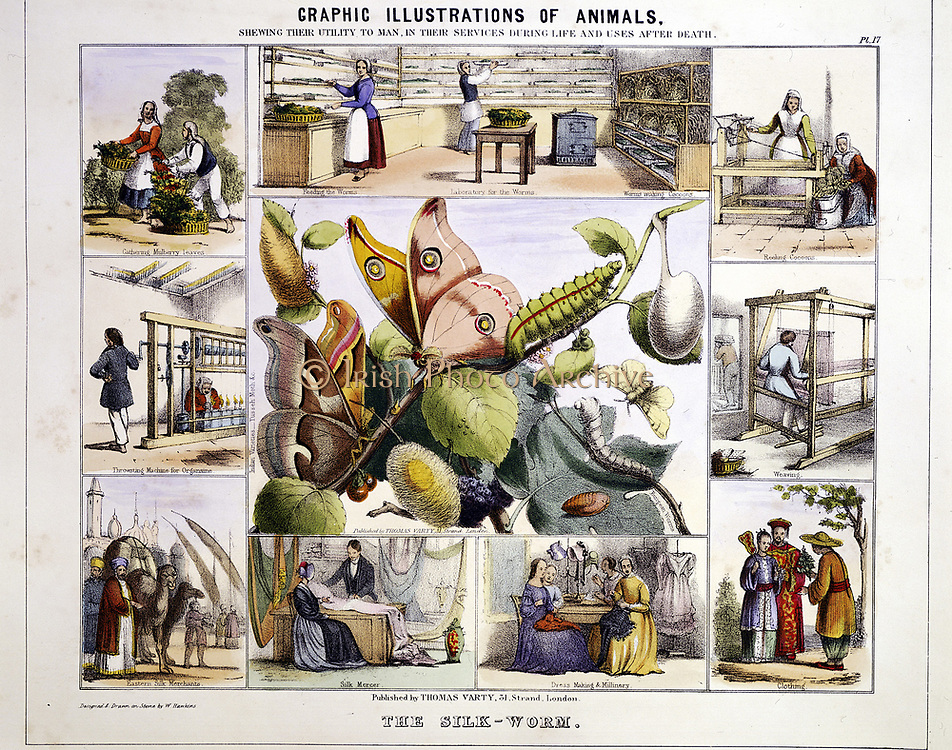 Silk from silk moth (Bombyx) to finished product. Central panel shows lifecycle of moth from egg to adult. Surrounding vignettes show trading in and uses of silk, including at bottom left caravan of  laden camels . From 'Graphic Illustrations of Animals, Showing Their Utility to Man' London c1850. Hand-coloured lithograph