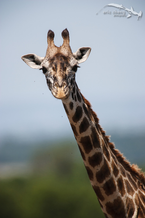 A reticulated giraffe (Giraffa camelopardalis), Serengeti, Tanzania.