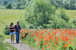 © Licensed to London News Pictures. 11/06/2017. London Colney, UK. A couple walk their dog past poppies and other wildflowers which are in bloom in a field in London Colney, near St Albans.  Lying near the busy M25 motorway that encircles the capital, the flowers are putting on a spectacular show as the traffic passes by. Photo credit : Stephen Chung/LNP