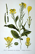 Charlock or Wild Mustard ( Sinapis arvensis)  annual plant of the Brassica family, native of Europe. From Amedee Masclef 'Atlas des Plantes de France', Paris, 1893.