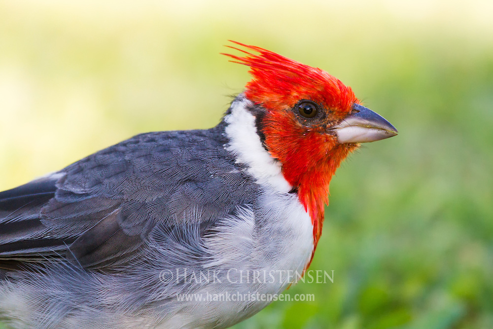 A red-crested cardinal stands in short grass, looking for food