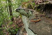 A long-tailed salamander (Eurycea longicauda) in habitat - Tishomingo, Mississippi