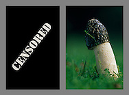 Stinkhorn panel – censored
