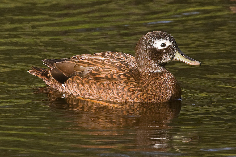 Laysan Duck photo Midway