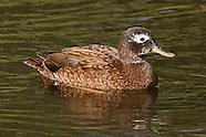 Laysan Duck photos