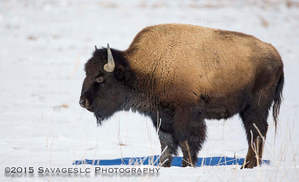 Bison in winter coat. January 2015
