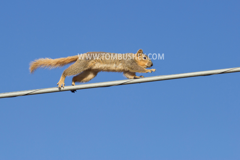 Citrus Heights, Calif.  - A squirrel runs along a utility wire on March 10, 2014.