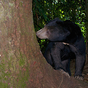 Sun bear (Helarctos malayanus). The sun bear (Helarctos malayanus) is a bear found in tropical forest habitats of Southeast Asia.