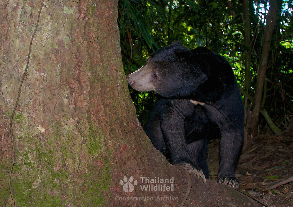 Sun bear (Helarctos malayanus). The sun bear (Helarctos malayanus) is a bear found in tropical forest habitats of Southeast Asia.