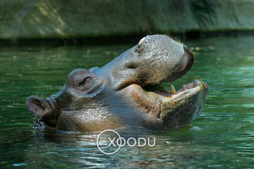Hippopotamus swimming, Berlin, Germany (June 2007)