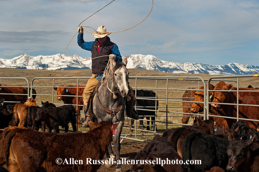 Cowboy Dewey Zupan ropes and drags calves to the fire to be branded, Wilsall, Montana, Bridger Mountains,<br /> MODEL RELEASED, PROPERTY RELEASED