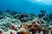 Chinese Sea Snake (Laticauda semifasciata) & Banded Sea Krait (Laticauda colubrina)<br /> Gili Manuk Island<br /> Banda Sea<br /> Indonesia