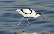 Avocet Recurvirostra avosetta L 43cm. Elegant wader with distinctive black and white plumage. Feeds by sweeping diagnostic, upcurved bill from side-to-side through water. Gregarious outside breeding season. Sexes are similar. Adult has mainly white plumage with black on crown, nape and wings. Legs are blue and bill is black. Juvenile is similar but black elements of plumage are dark brown. Voice Utters a ringing klueet-klueet… call. Status Favours shallow, coastal brackish lagoons in breeding season. In winter, found on estuaries, mainly in SW England.