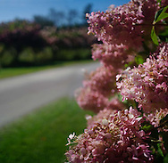 pink hydrangeas line drive
