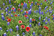 Indian Blanket and bluebonnet detail.