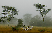 Zebra viewing through the mist in Mboro National Park.Mboro National Park, Uganda, Africa.