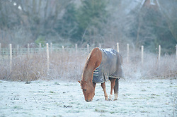 © Licensed to London News Pictures. 31/01/2019. Orpington, UK. Horse grazing in an icy field this morning in Orpington. Coldest night of the year so far as the winter freeze takes hold.<br />   Photo credit: Grant Falvey/LNP