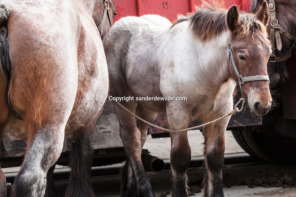 beautiful coloured big muscled Belgian horses stand in line, attached to a truck. Every year honouring Saint Guido, protector of animals, the people of Anderlecht, suburb of Brussels, organize a fair with this horse market.