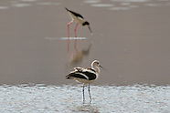 American Avocet photos