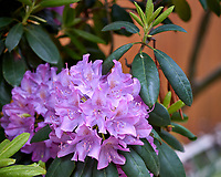 Rhododendron Flowers. Image taken with a Leica CL camera and 60 mm f/2.8 lens