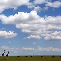 Kenya 2017<br /> Photo by Shmuel Thaler<br /> www.shmuelthaler.com<br /> shmuel_thaler@yahoo.com<br /> 831-706-7513