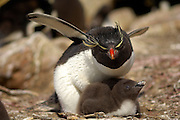 The rockhopper penguin (Eudyptes chrysocome) can - at the first glance - be confused with the other species of crested penguins, but the only thin, light yellow supercilium (eyebrow) which does not fuse on the forehead, and the bright red eyes are distinctive. |  Der Felsenpinguin (Eudyptes chrysocome) ähnelt den anderen Schopfpinguinarten, ist aber an seinen leuchtend roten Augen und der nur dünnen, an der Stirn nicht zusammenlaufenden Augenbrauen-Linie zu erkennen.