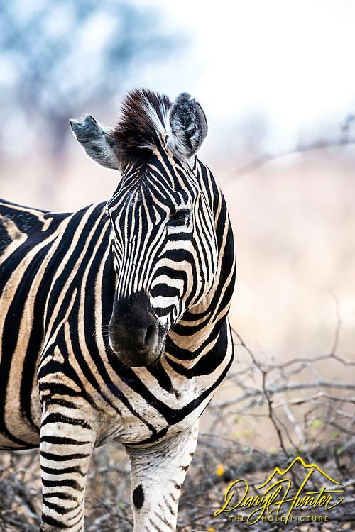 Zebra portrait, Kruger National Park
