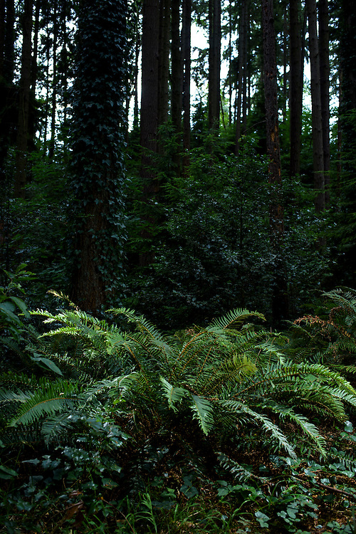Mountlake Terrace, Washington - July 13, 2015: The Creekbed Colony of &Uuml;berstadt borders the England-based micronation Austenasian's similar sized crown dependency, Oregonia. Pictured is a fern in Oregonia. &Uuml;berstadt acts as the protectorate for the small swath of wooded land. &quot;The U.S. calls this area Veterans Memorial Park,&quot; says King Adam I. <br /> <br /> The Kingdom of &Uuml;berstadt is led by nineteen-year-old King Adam I, (Adam Oberstadt). The Barony of Rosewood -- the micronation's capitol and the Oberstadt family home -- is nestled in the Seattle suburb of Mountlake Terrace, Wash. <br /> &Uuml;berstadt also claims territory of nearby Edmount Island on Lake Ballinger -- called The Barony of Ballinger and &quot;considered the spiritual homeland of the nation.&quot; Both baronies reside within the Duchy of Edmount which &quot;is situated entirely within the boundaries of the city of Mountlake Terrace, Washington,&quot; according to the &Uuml;berstadt website.<br /> &Uuml;berstadt  was founded by King Adam I and his high school friends March 6, 2010, and was governed by judges as a kritarchy. Before taking the crown, Adam was &Uuml;berstadt's chief judge. After graduation, many of the &Uuml;berstadti moved away to college and &Uuml;berstadt's populace shrank. Activities would shift from the high school to Rosewood, and the governing style morphed to a unitary constitutional monarchy. According to the micronation's website &Uuml;berstadt is a sovereign state &quot;guided by the principles of direct democracy, socialist economics, and environmentalism.&quot; <br /> <br /> CREDIT: Matt Roth