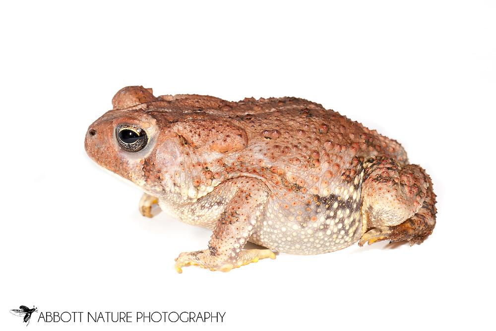 American Toad (Anaxyrus americanus)<br /> TEXAS: Harrison Co.<br /> Caddo Lake NWR @ Karmack <br /> 29.May.2011<br /> J.C. Abbott #2508