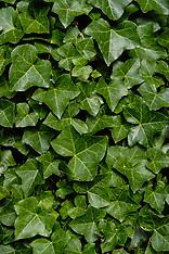 Klimopfamilie,  Araliaceae