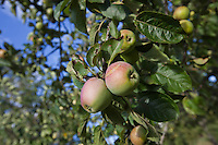 Close-up of apples ripening on tree