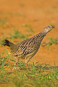 Crested Francolin.Peliperdix sephaena.looking at a raptor overhead.near Nylsvley, .Limpopo Province,.South Africa.5 January 2006