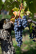 Merlot grapes at Chateau Beau-Sejour Becot, St Emilion in the Bordeaux wine region of France