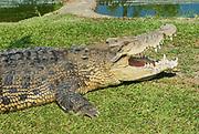 Australian crocodile on the grass in Queensland, Australia.