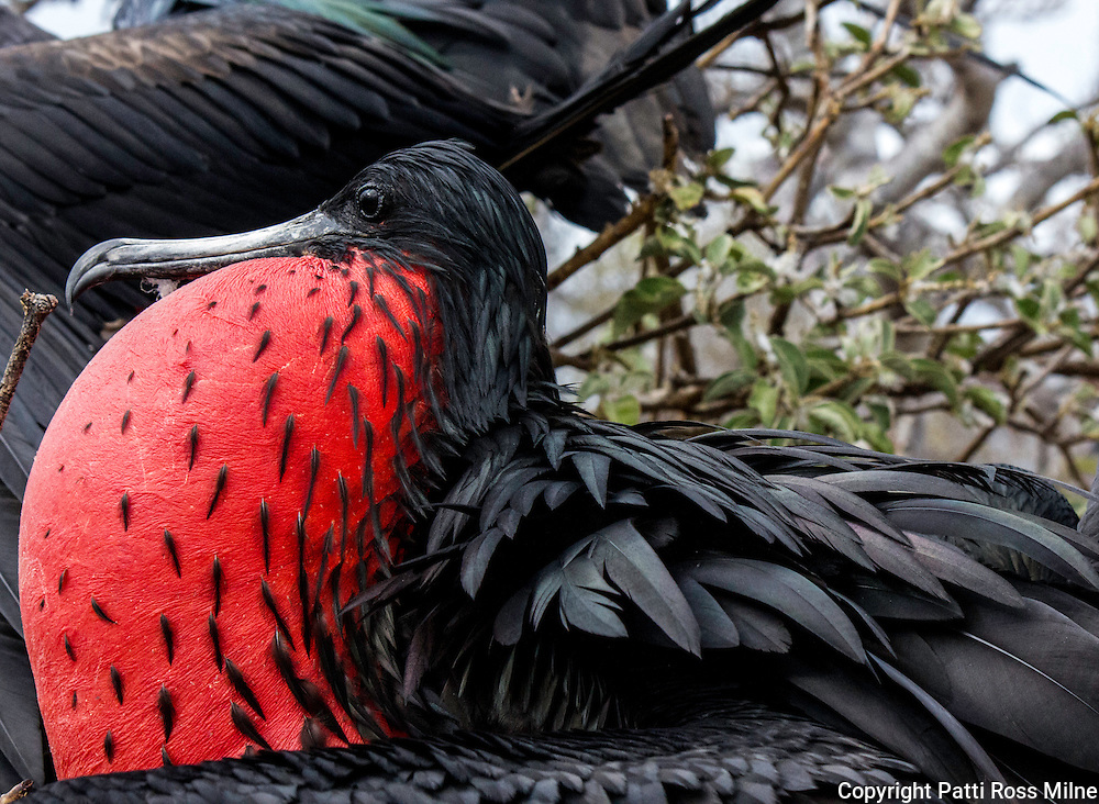 A Frigate bird with distended bladder. This is a male bird when mating.