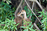 Limpkin (Aramus guarauna) chicks,, Arthur J Marshall National Wildlife Reserve - Loxahatchee, Florida, USA.    Photo: Peter Llewellyn